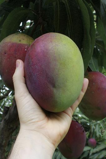 unripe mango